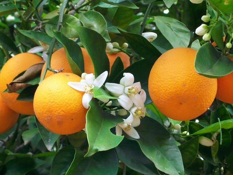 Agua de azahar - Orange en sevilla ...